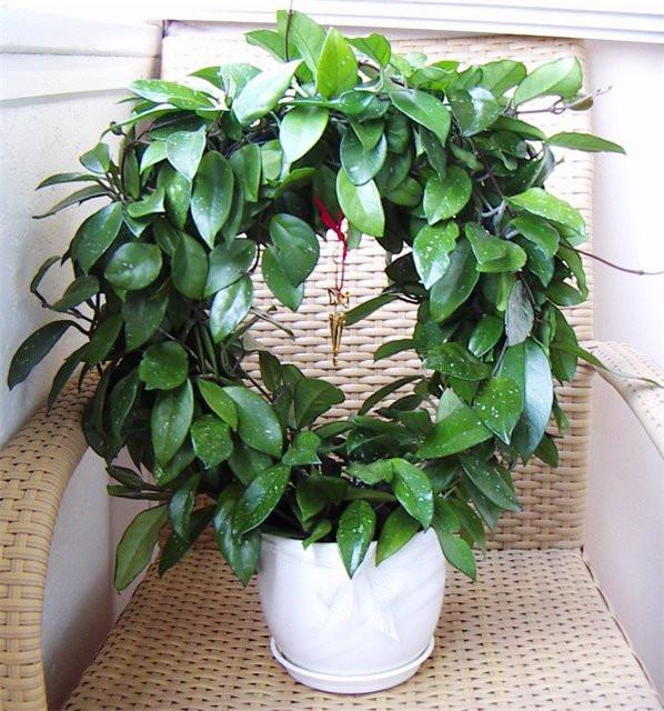 Хойя - цветущая лиана, восковой плющ - Комнатные растения ...